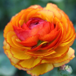 Italian Ranunculus Cloni Success Ole