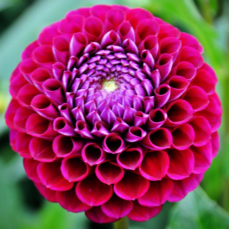 Plum Dahlia Flower Bulbs For Sale