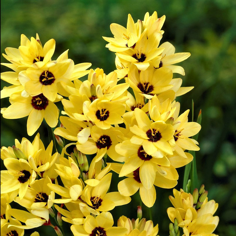 Ixia Yellow Emperor Easy To Grow Bulbs