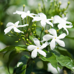 Star Jasmine Flowers for Sale