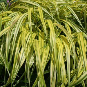 products/Japanese_Forest_Grass_Aureola__Square.GC.jpg
