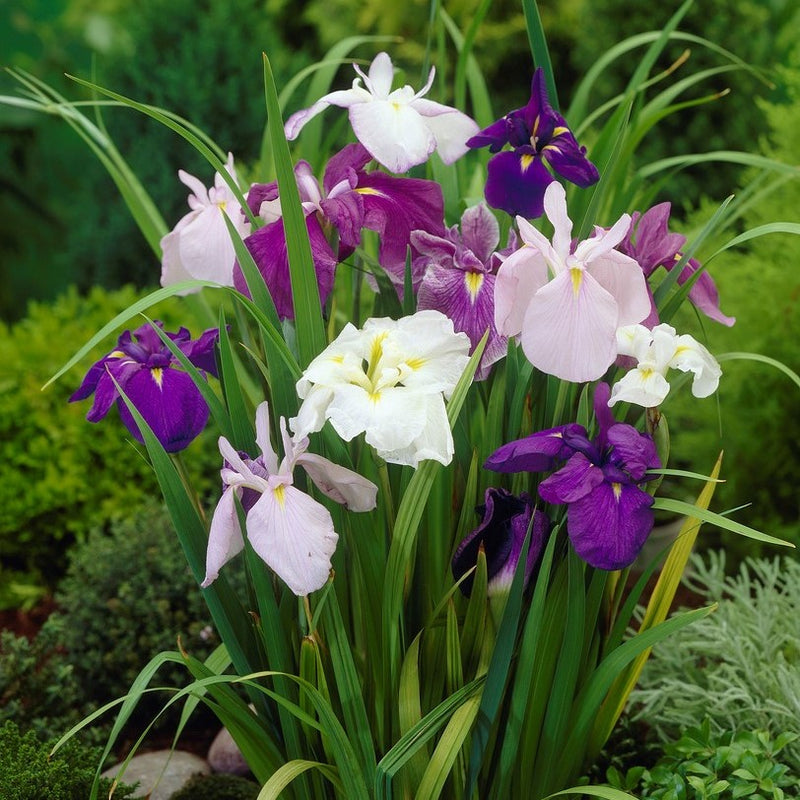 Purple and White Japanese Iris Zen Garden Mix