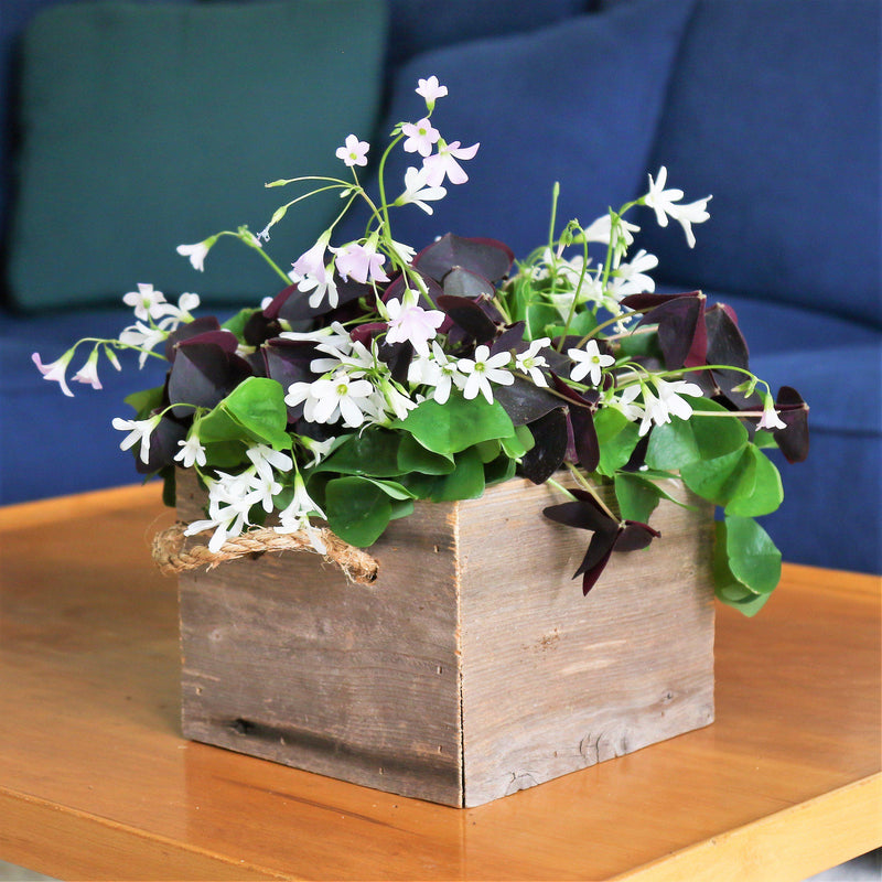 Oxalis Triangularis and Regnelli Mix in a Reclaimed Wood Square - FREE Shipping!