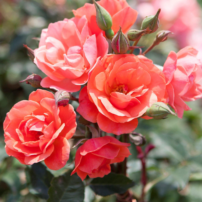 Knock Out® Rose Coral