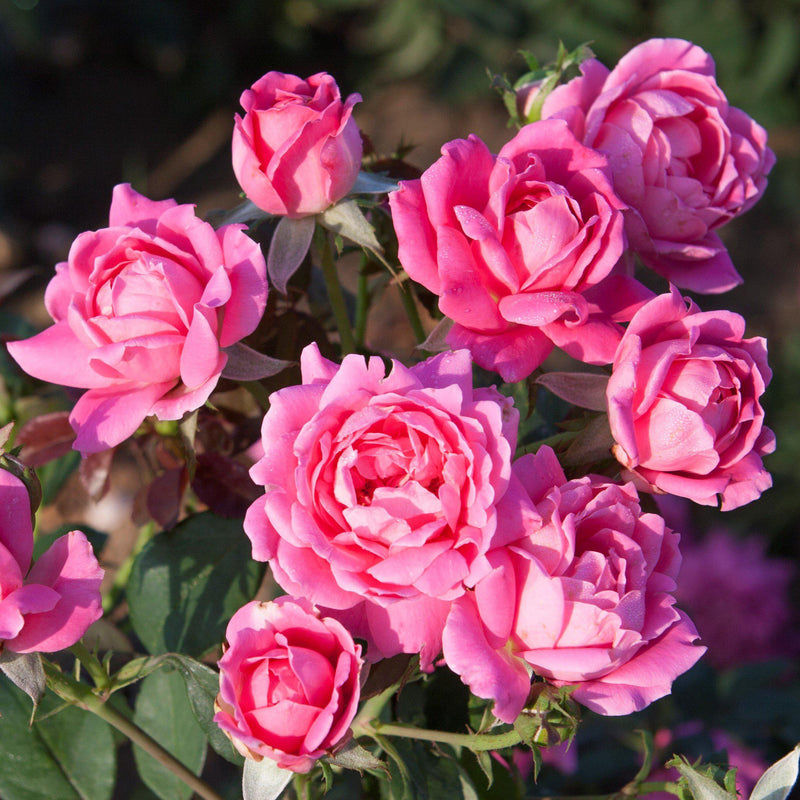 Double Pink Knock Out Rose Plants for Sale