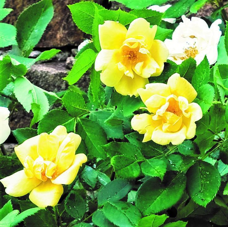 Yellow Knock Out Rose for Sale