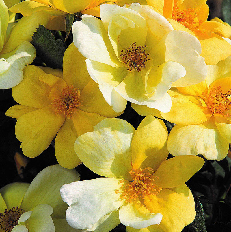 Sunny Knock Out Rose