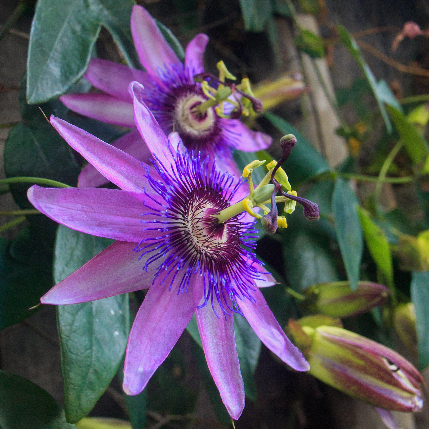Passion Flower Passiflora Lavender Lady Fragrant Easy To Grow Bulbs