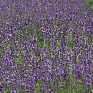 products/Lavender_Phenomenal.GC.jpg