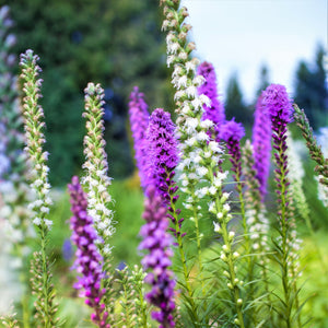 Liatris Blazing Stars Mix