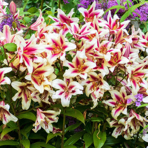 A Striking Cluster of Pink and White Candy Club Lilies