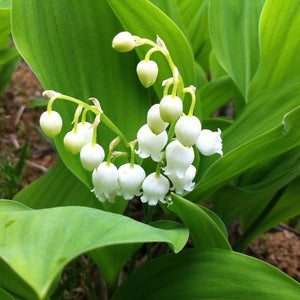A Lily of the Valley Plant with Multiple Small White Blooms
