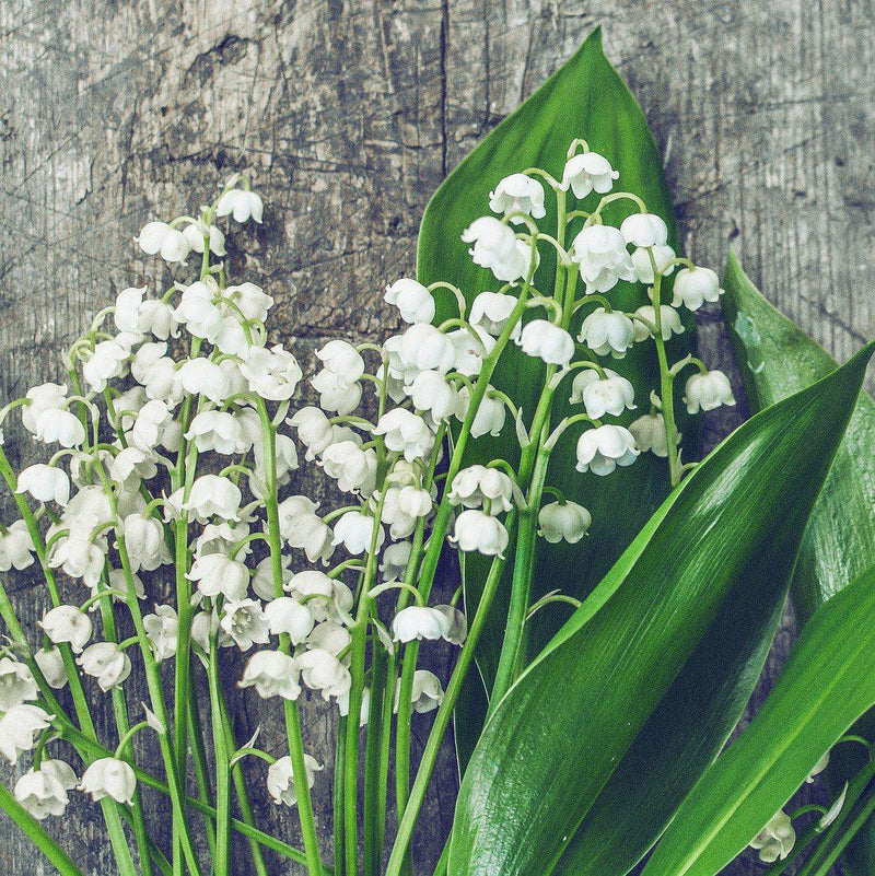 Lily of the Valley (6 flowering size pips)
