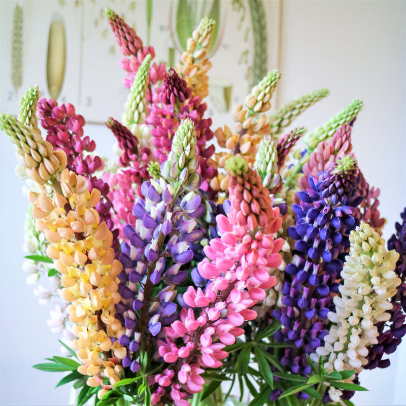 Gallery Mix Multicolor Lupine Flowers