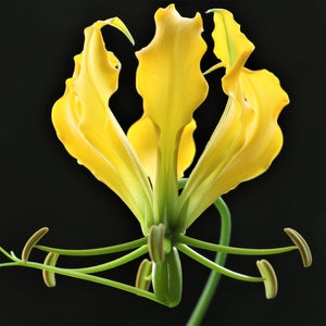 Yellow Gloriosa Lily Flower