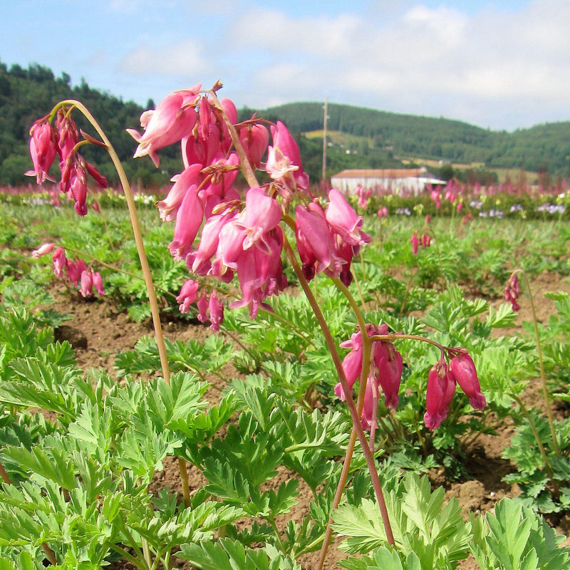 Luxurient Bleeding Hearts For Sale