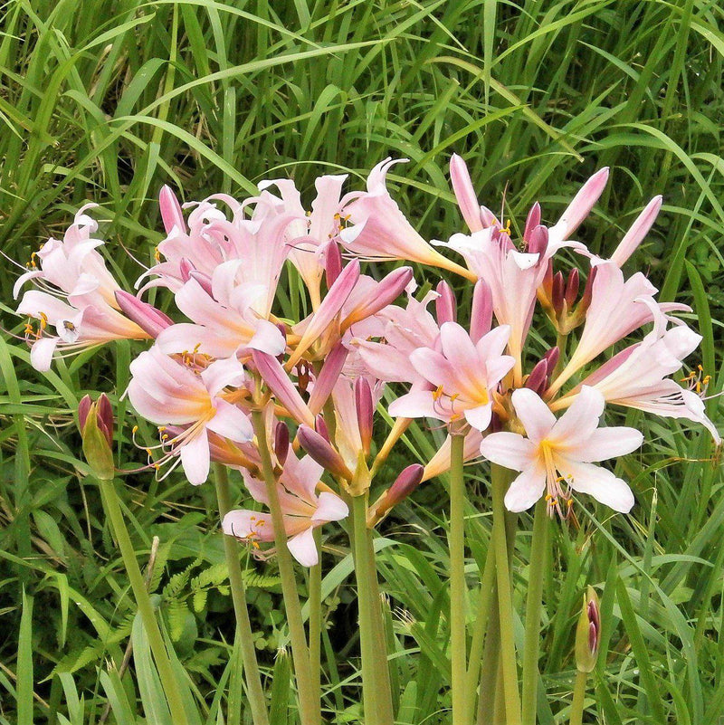 Pink Spider Lily Bulb Flowers
