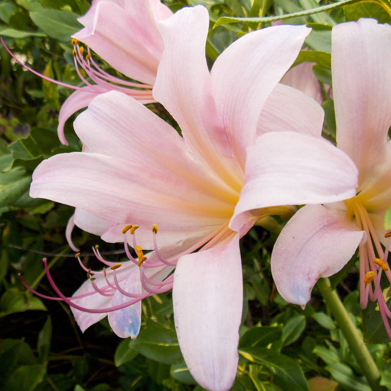 Pink Spider Lily Bulb Flower Closeup