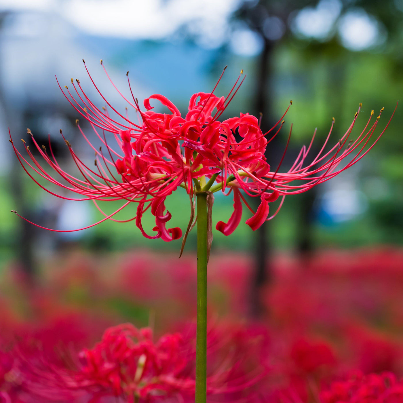 Red lycoris radiata red surprise lily red magic lily red lycoris red radiata izmirmasajfo