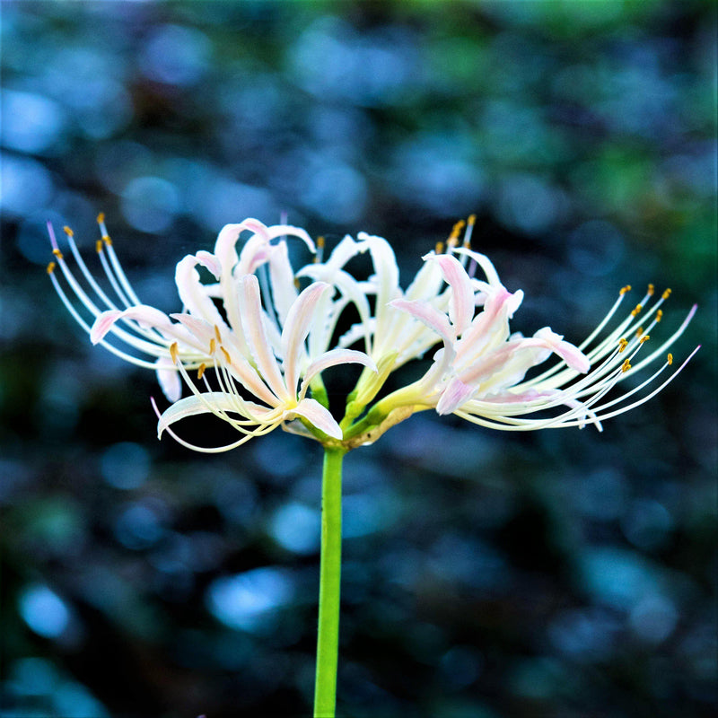 White Lycoris Flower