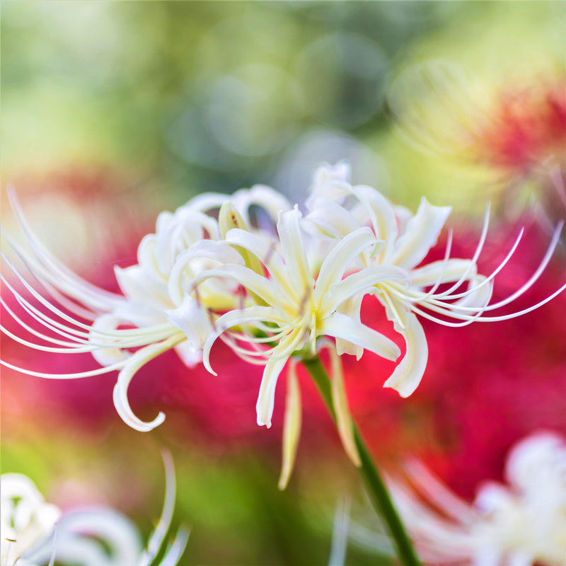 White Lycoris Flowers