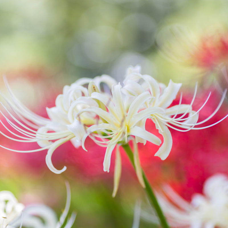 White Spider Flower Bulb for Sale