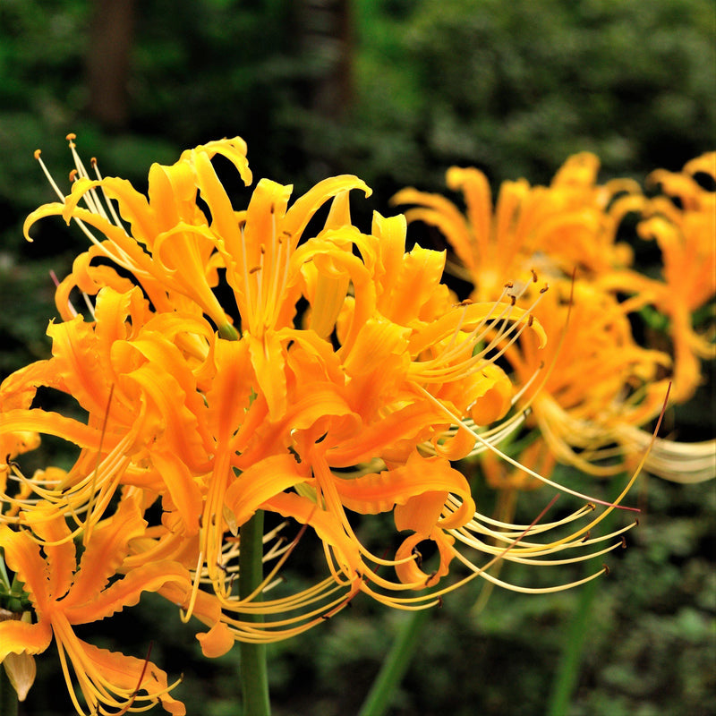 Yellow Spider Lily Flowers