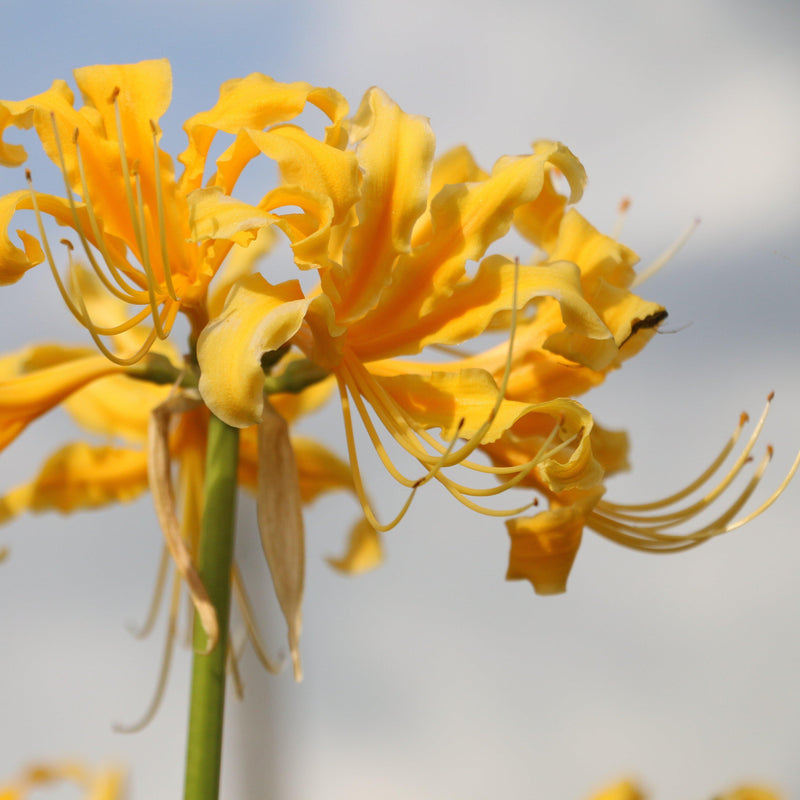 Yellow Lycoris Flowers