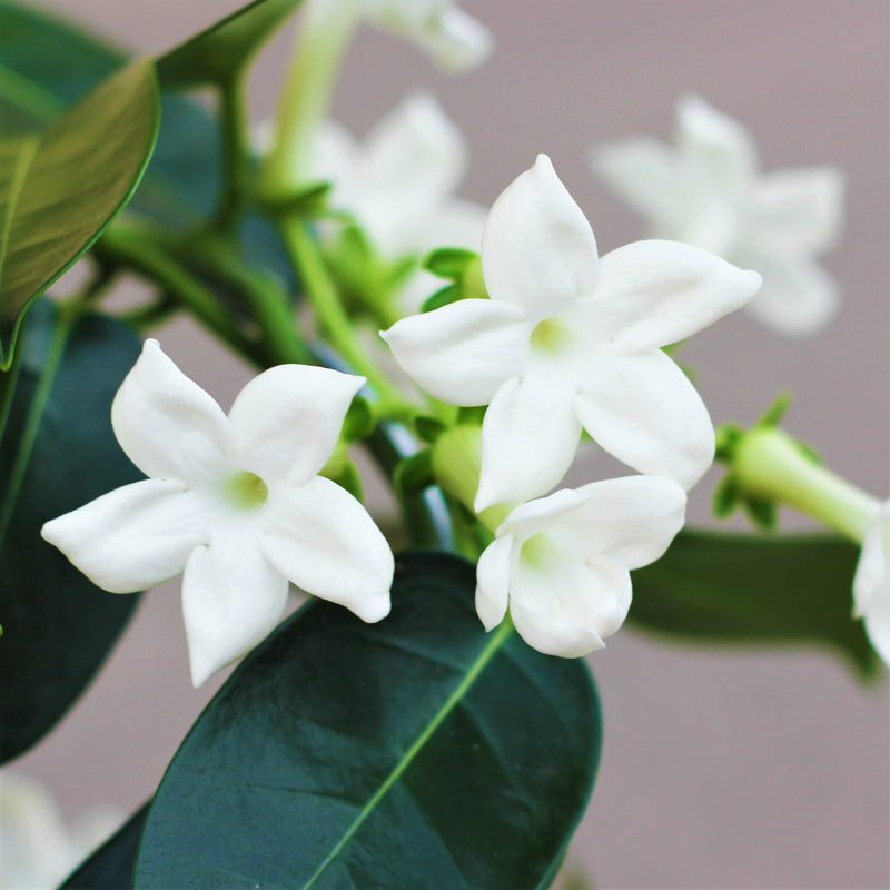 Stephanotis Vine flowers