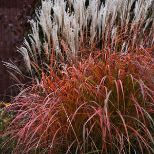 Miscanthus sinensis Fire Dragon NEW