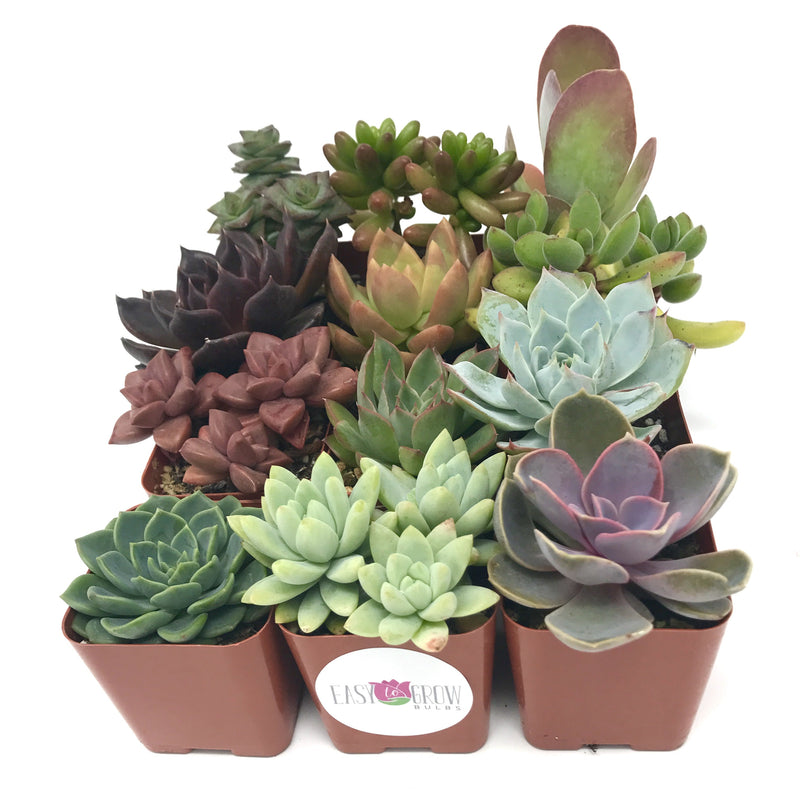 Multiple succulents in 2 inch pots medley mix