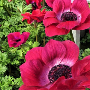 products/Mistral_Anemone_Magenta.jpg