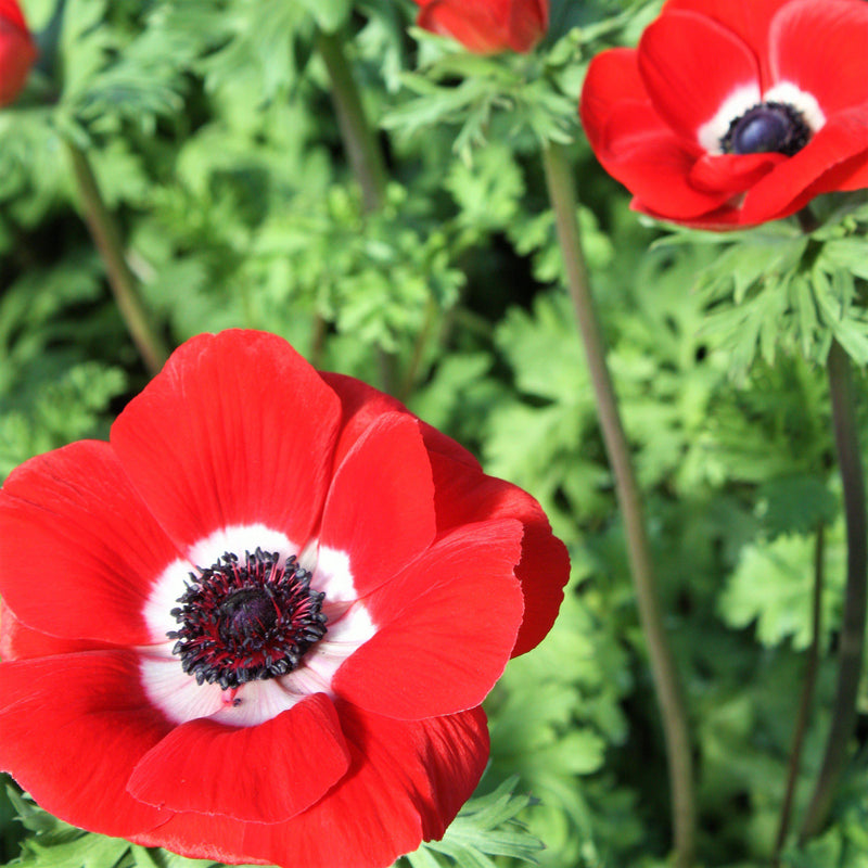 Anemone Mistral Rosso Flowers