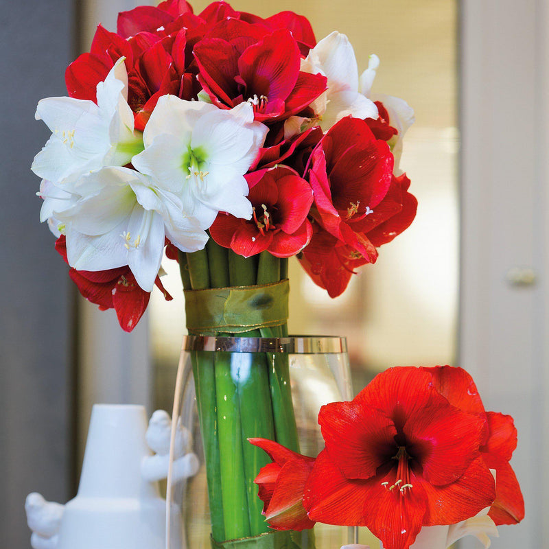 Amaryllis Magic Medley Mix Trio