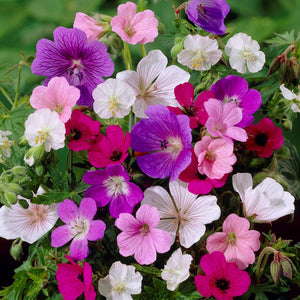 products/Mixed_Hardy_Geraniums.VP.jpg