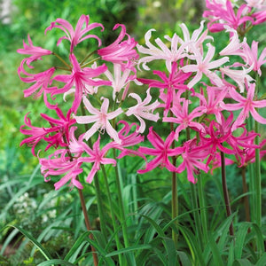 products/Mixed_Nerine.VP.jpg
