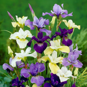 products/Mixed_Siberian_Iris.SQ.VP.jpg