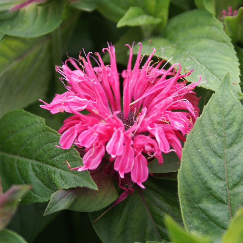 Bee Balm Pink Lace