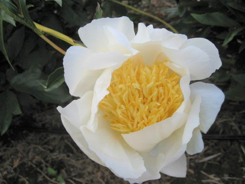 Closeup of Flowers of Pure White Peony Moon of Nippon