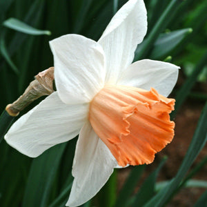 products/Narcissus_Accent.DV.jpg