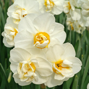 products/Narcissus_Cheerfulness.DV_-_Copy.jpg