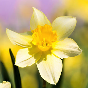 products/Narcissus_Sabrosa.SHUT_0.jpg