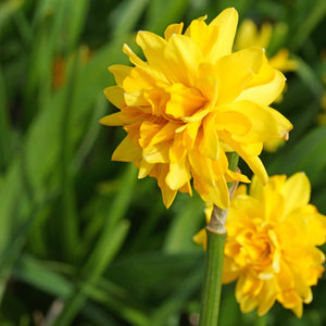 products/Narcissus_Tete_Boucle.DV_01_-_Copy.JPG