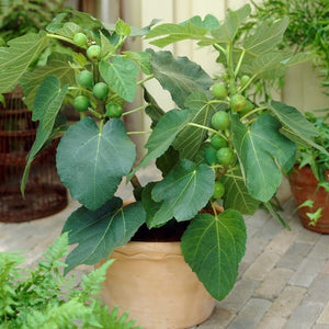 Fig Tree 'Negronne'