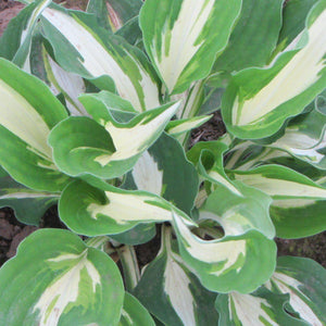Hosta Night Before Christmas