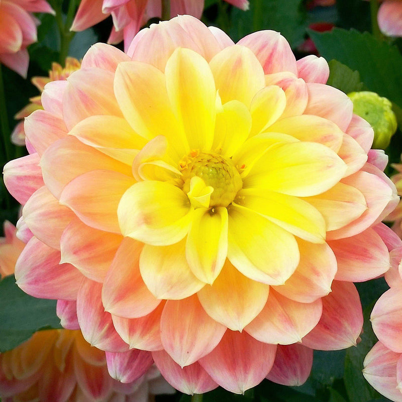 Peach and yellow dahlia flower