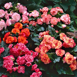 Hanging Basket Picotee Mix Begonias