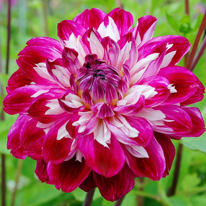 Dahlia Optical Illusion