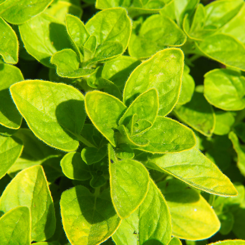 Close up oregano plant
