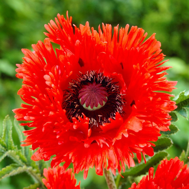 Oriental_PoppyTurkenlouis.VP Red Poppy Houseplants on flowers red, berries red, pots red, mums red, nature red, design red, animals red, ornamental grasses red, cactus red, peppers red, orchids red,
